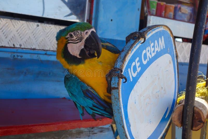 Papegoja i Aruba royaltyfri fotografi