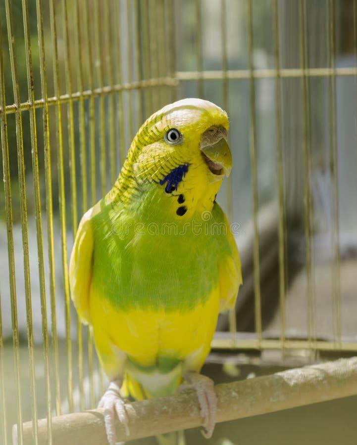 Papegoja i en guld- bur fotografering för bildbyråer