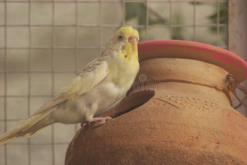 Papegoja i rede arkivfoto