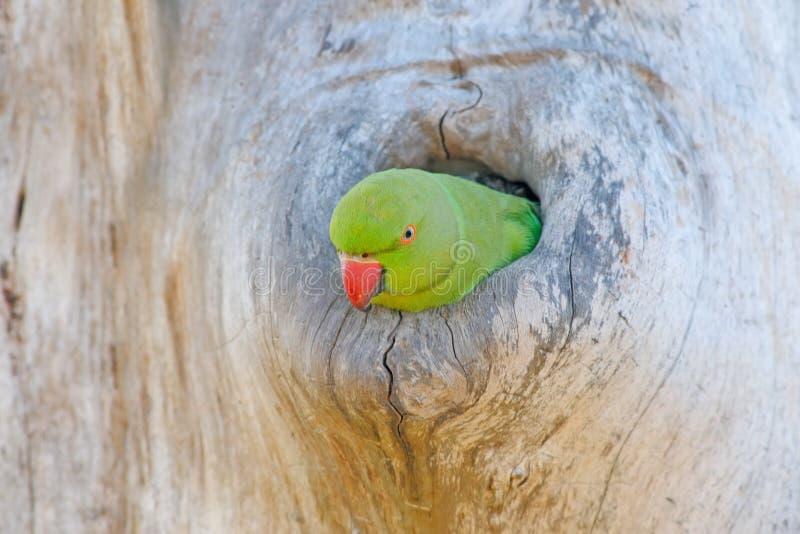 Papegoja i redehålet Grönt papegojasammanträde på trädstammen med redehålet Bygga bo denringed parakiter, Psittaculakrameri, fria royaltyfri foto