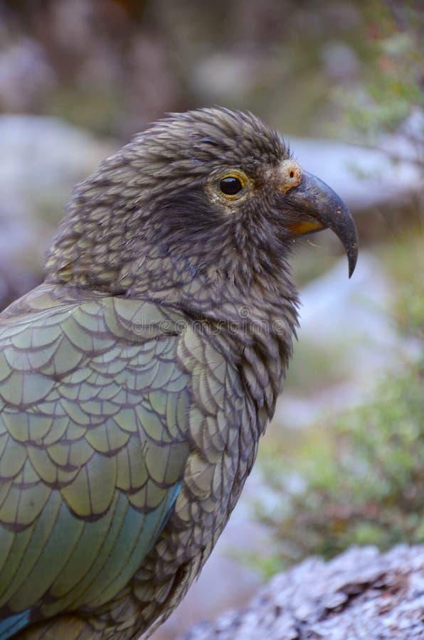Papegoja Kea (Nestor), Nelson Lakes National Park royaltyfri fotografi
