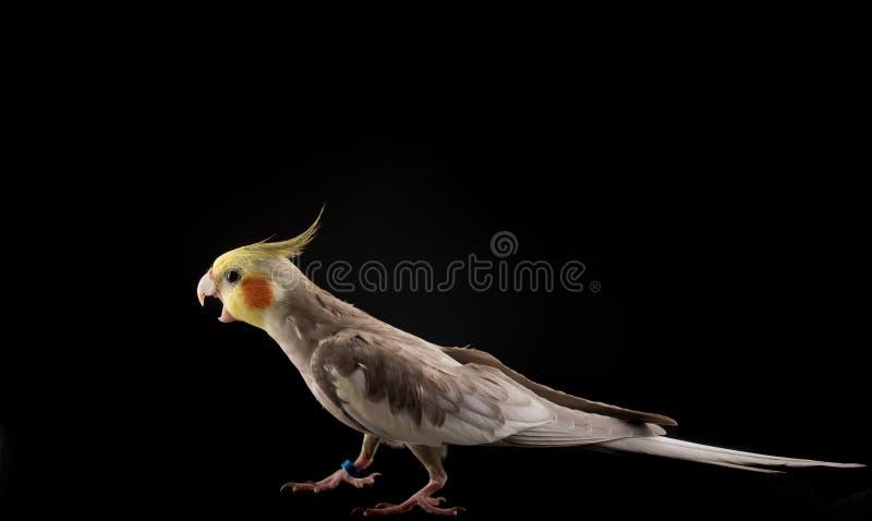 Papegoja med den öppna näbb Ilsket anfalla för papegoja Isolerat på svart bakgrund royaltyfri bild