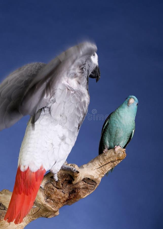 Papegoja och parakiter fotografering för bildbyråer