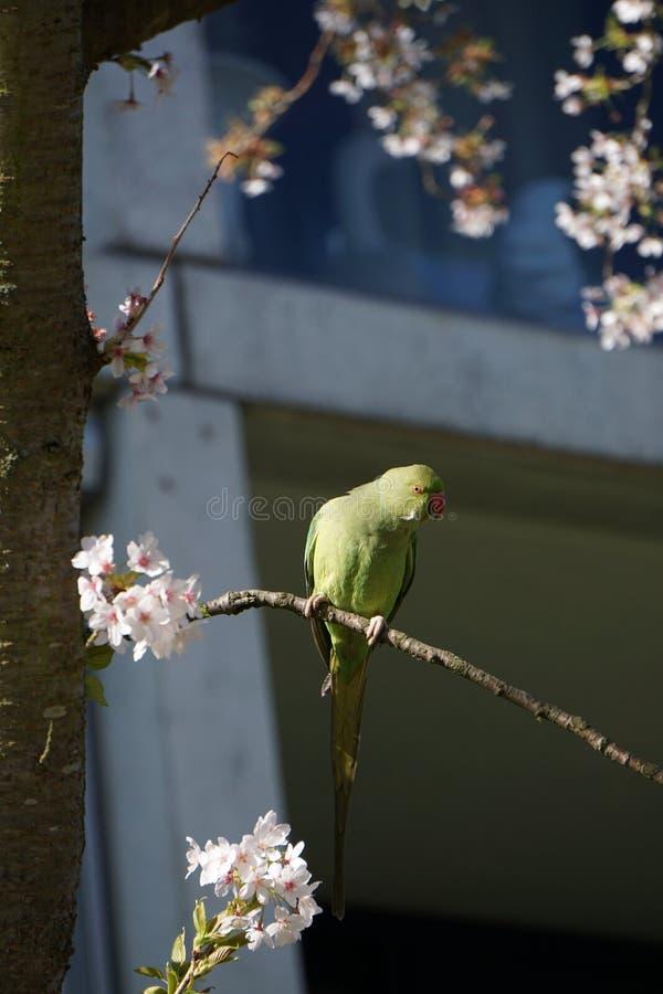 Papegoja på det blommande trädet royaltyfri bild