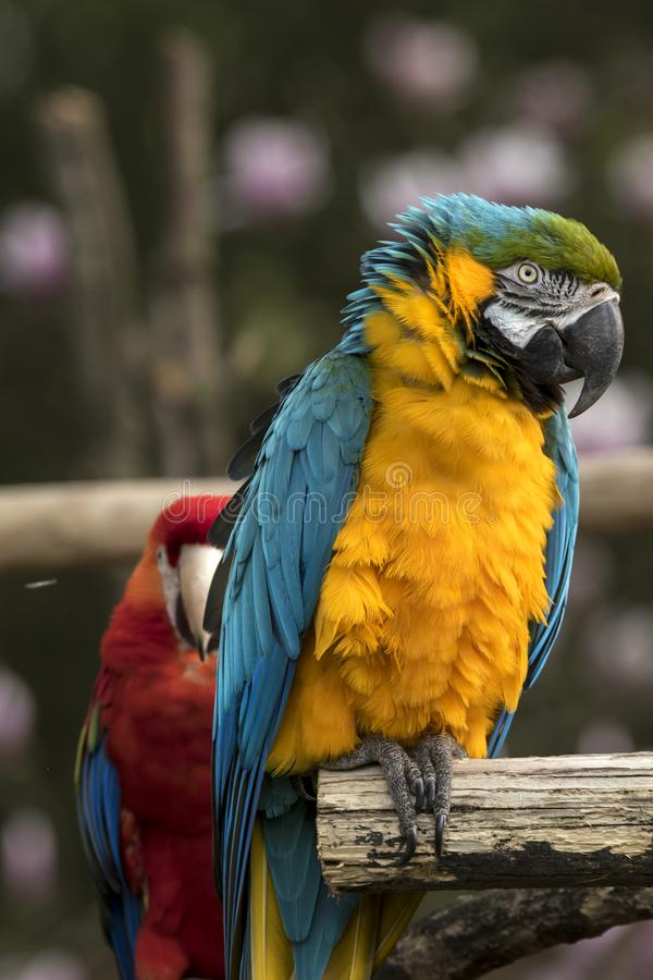 Papegoja på en sittpinne arkivbilder