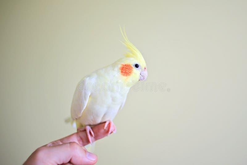 Papegoja på fingret arkivfoto