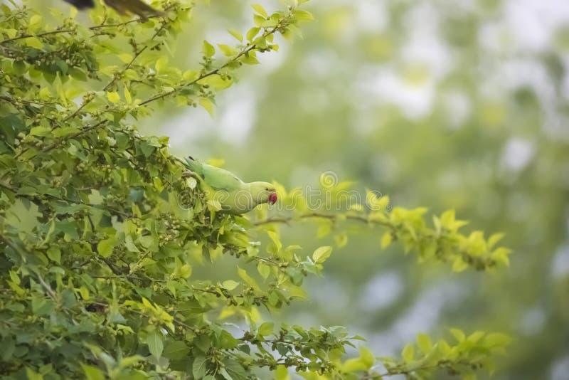 Papegoja på mullbärsträdträdet arkivfoto