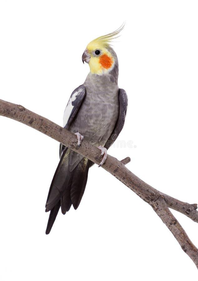 Papegoja på perchen royaltyfri foto
