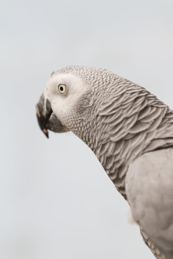 Papegoja på sittpinnen royaltyfria bilder