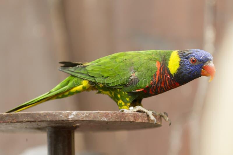 Papegoja på sittpinnen royaltyfri fotografi