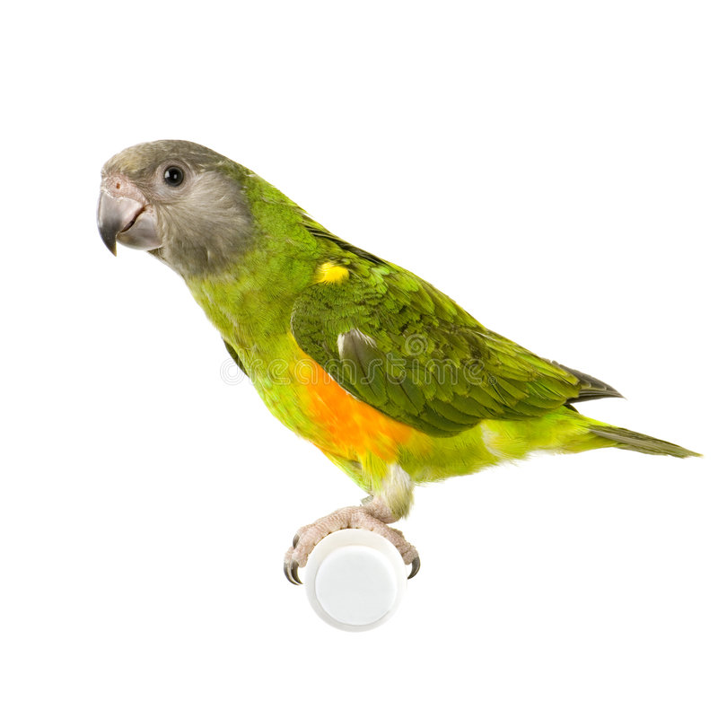 papegoja senegal royaltyfria foton