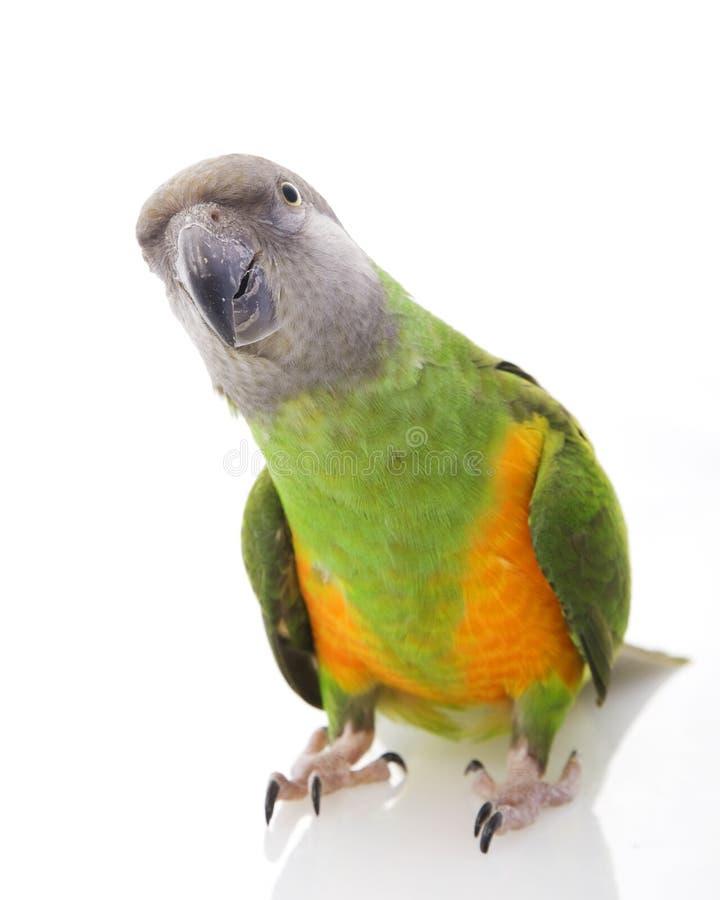 papegoja senegal arkivbild
