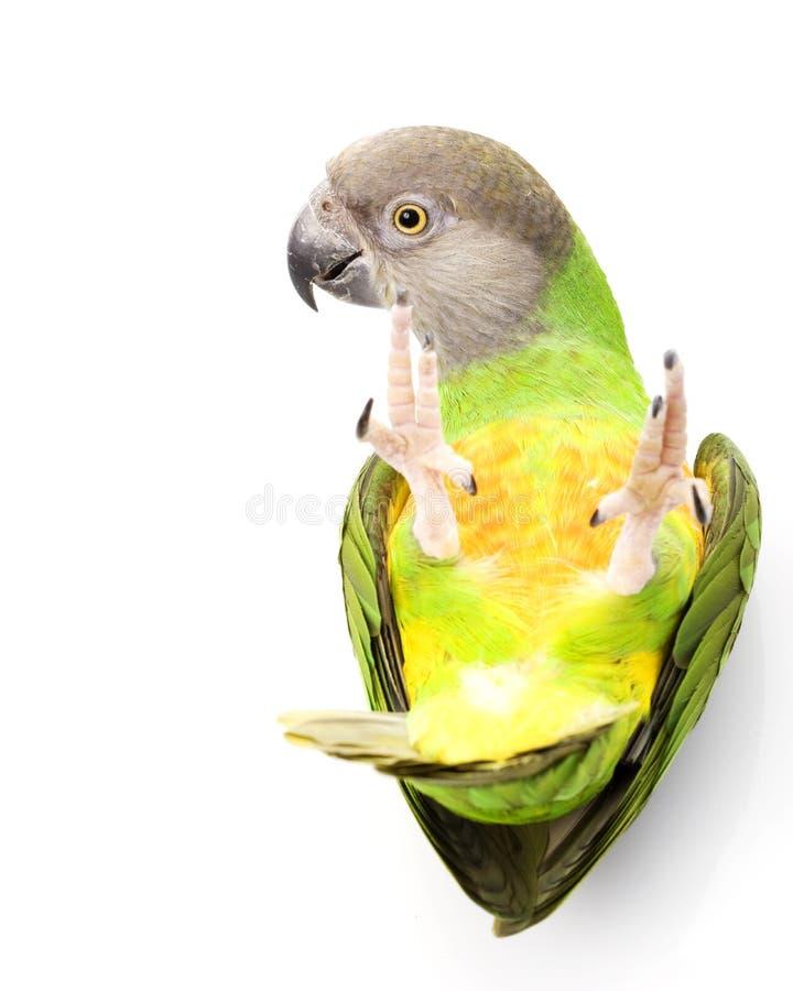papegoja senegal royaltyfri bild