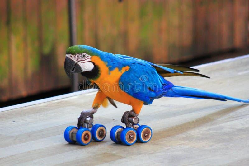 Papegoja som åker skridskor show arkivfoto