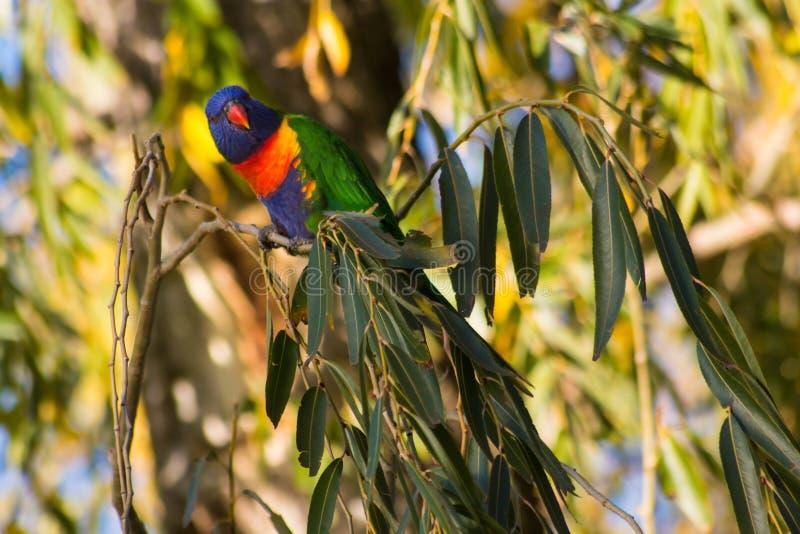 Papegoja som vilar p? en tr?dfilial arkivfoto