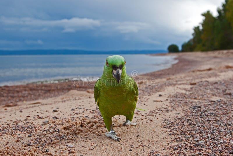 Papegoja vid stranden royaltyfri bild