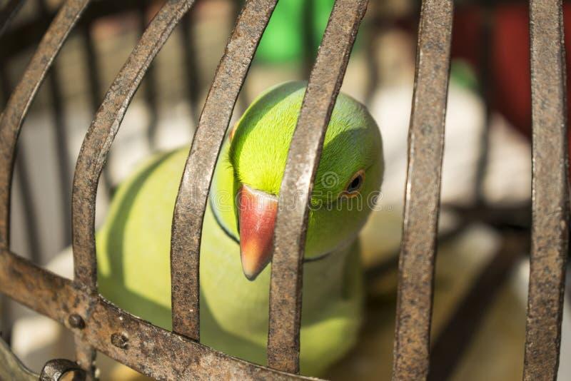 Papegojafåglar i bur royaltyfri bild