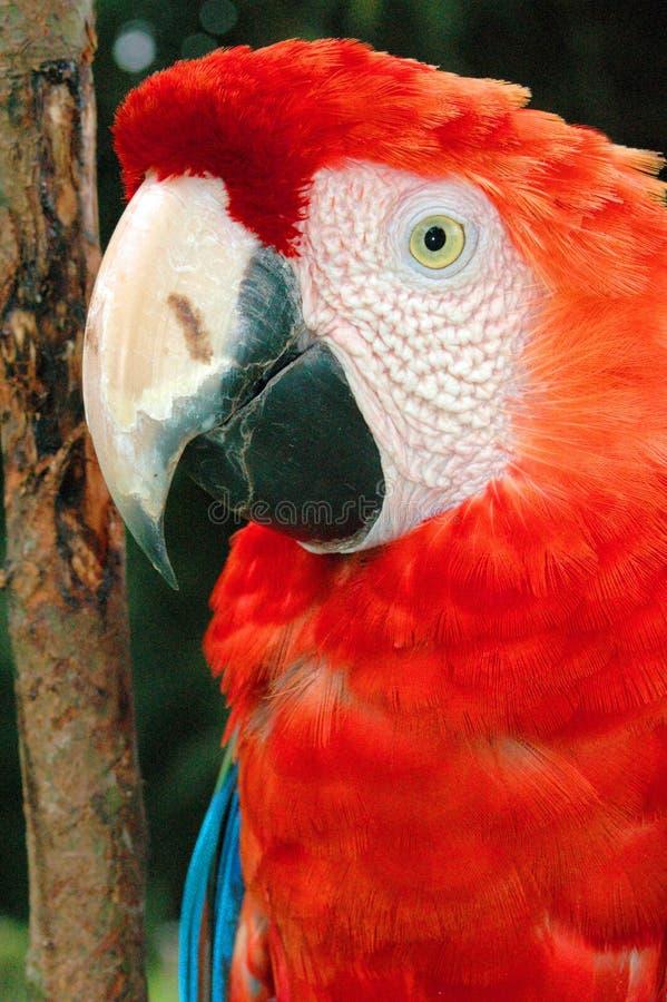 Papegojahuvud i amasonregnskogen arkivbild