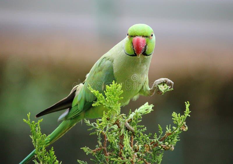 Papegojan på sörjer trädet framme av mitt hus royaltyfria foton