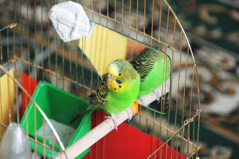 Papegojan sitter i en bur budget- royaltyfri bild
