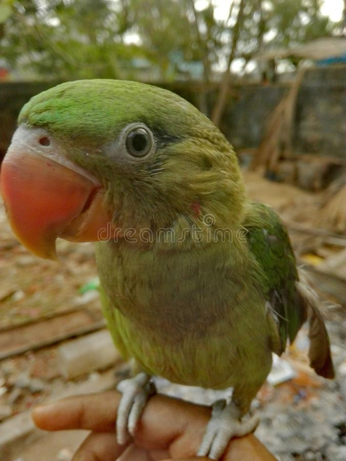 Papegojor är cuties, kanske som du skulle gilla dem royaltyfria foton