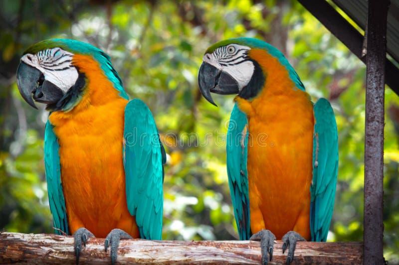 papegojor arkivfoto