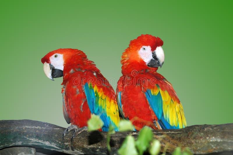 papegojor royaltyfri foto