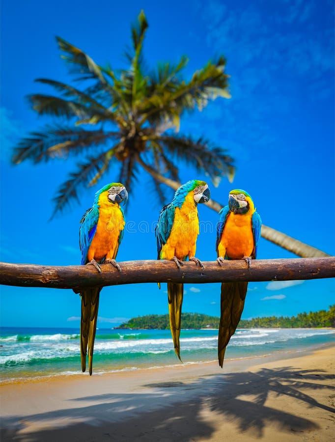 Papegojor för ararauna för Blått-och-guling aramunkhättor arkivfoto