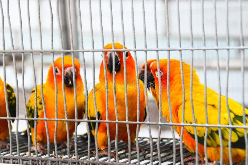 Papegojor i en bur arkivfoton