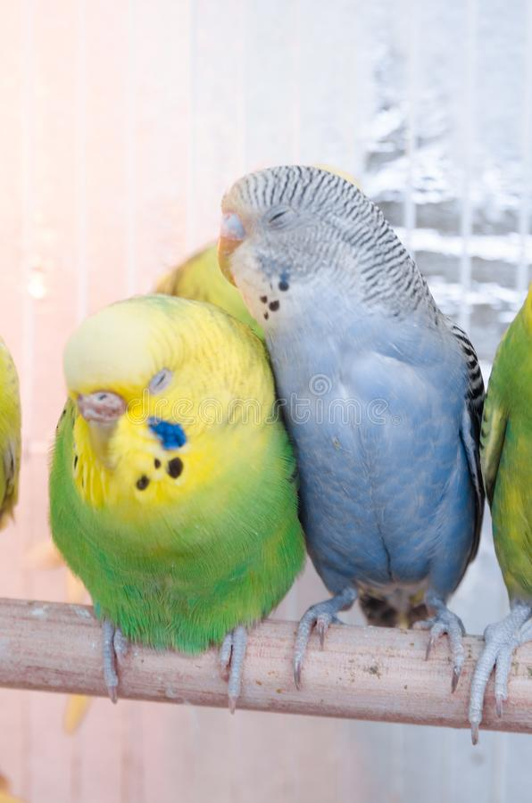 Papegojor i en bur arkivbild