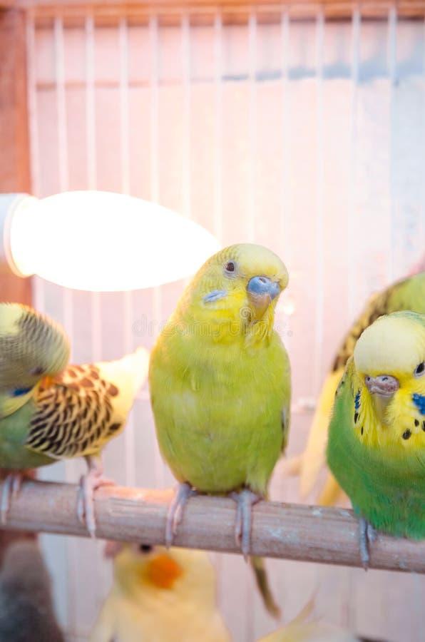 Papegojor i en bur fotografering för bildbyråer
