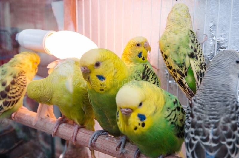 Papegojor i en bur royaltyfri foto