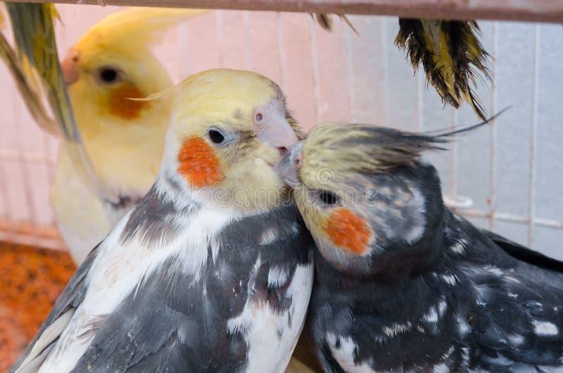 Papegojor i en bur royaltyfri fotografi