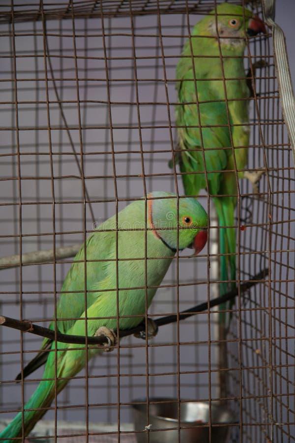 Papegojor i fångenskapen royaltyfri bild