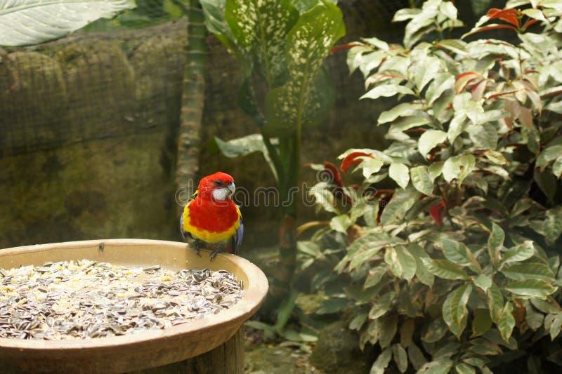 Papegojor & x28; Psittaciformes& x29; S?tta sig p? solblommafr? bowla royaltyfria bilder