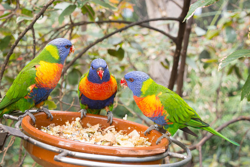 Papegojor som pratar och äter royaltyfria bilder