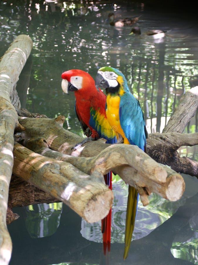 papegojor två arkivfoton