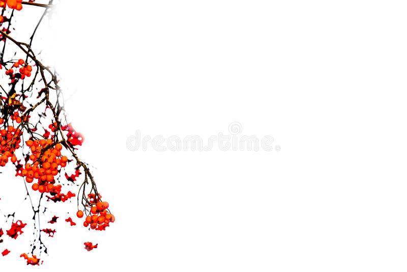 Papel con membrete con las bayas de serbal rojas fotografía de archivo