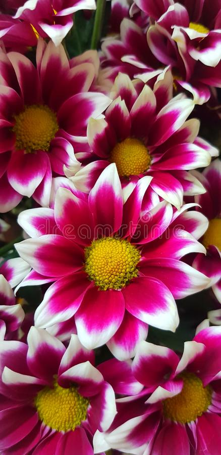 Papel de parede da cor da flor fotografia de stock