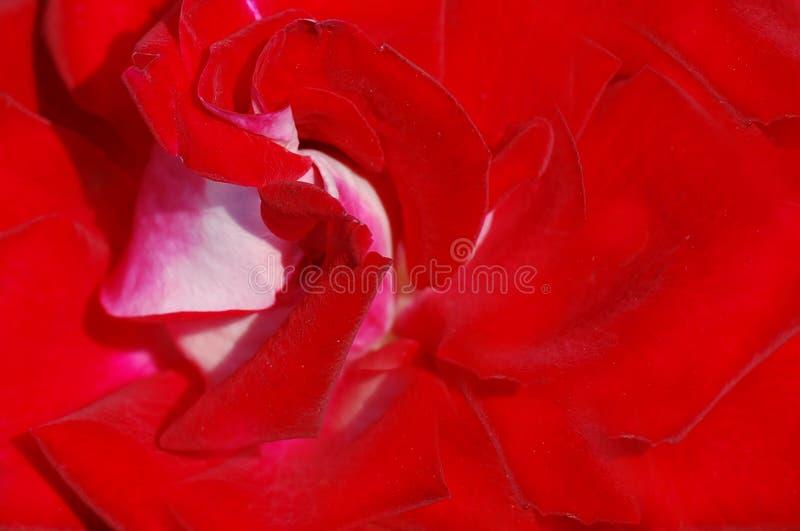 papel de parede da rosa do vermelho foto de stock