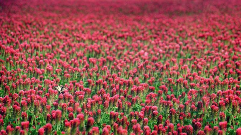 Papel de parede de florescência do fundo do campo do trevo vermelho imagens de stock