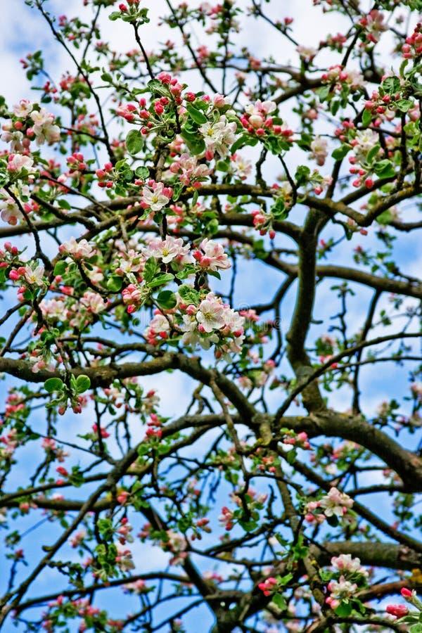 Papel de parede/fundo de florescência da árvore de maçã imagem de stock