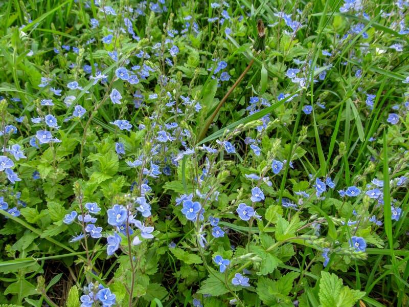 Papel de parede natural bonito - grama de prado suculenta da verão-mola com muitos florets azuis pequenos imagens de stock royalty free