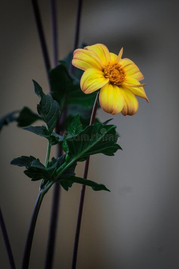 Papel de parede no girassol amarelo da flor fotografia de stock