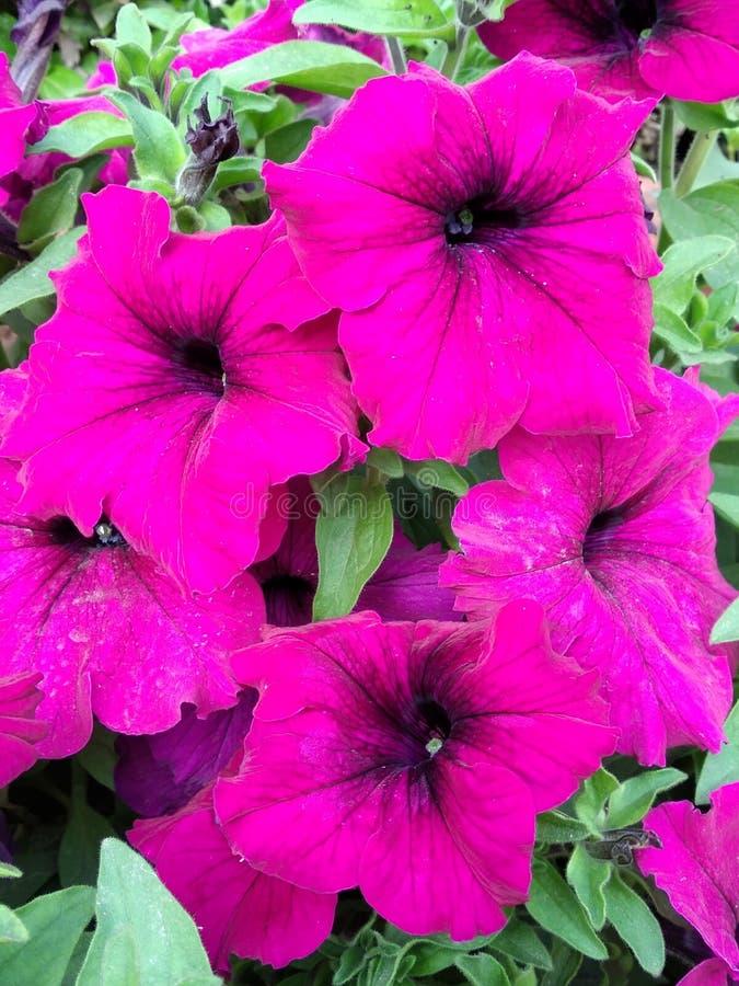 Papel de parede roxo bonito das flores do petúnia imagem de stock royalty free