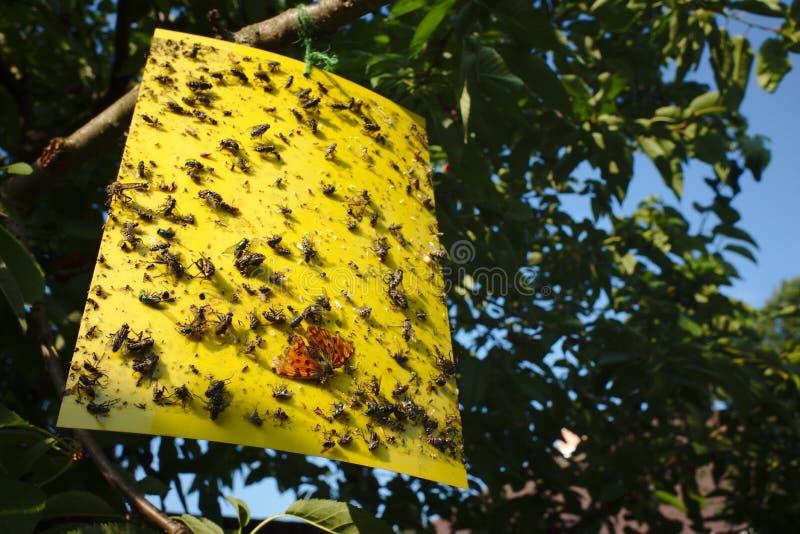 Papel pegajoso amarelo da mosca com lotes dos insetos que penduram em uma cereja fotografia de stock