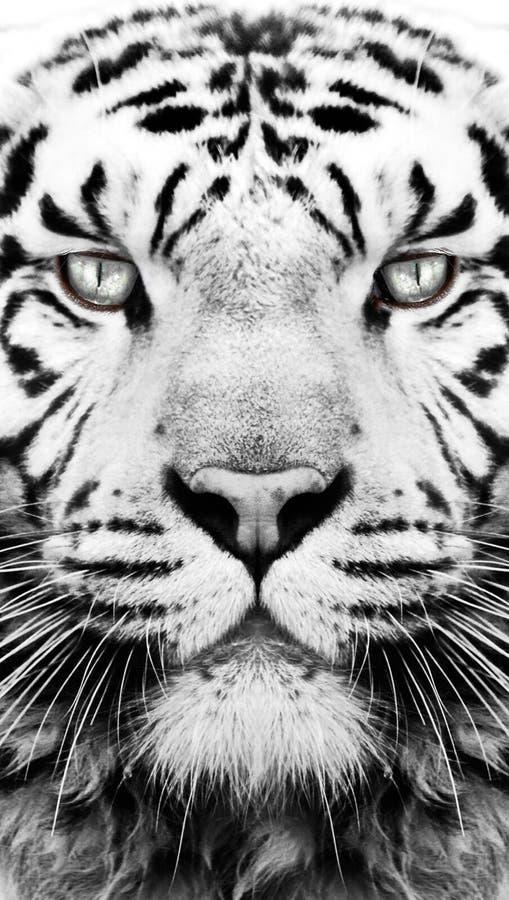 Papel pintado blanco y negro del modelo del tigre