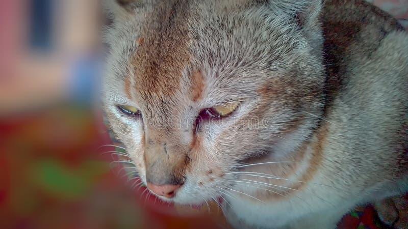 Papel pintado del gato nacional agradable y precioso fotografía de archivo