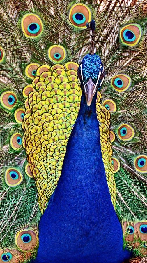 Papel pintado del pavo real imágenes de archivo libres de regalías