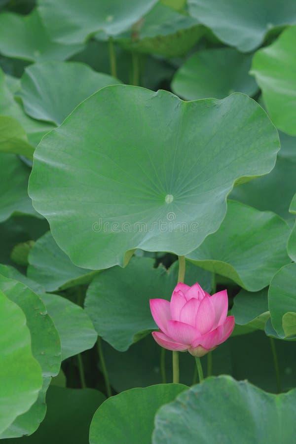 Papel pintado del teléfono celular de Lotus fotos de archivo